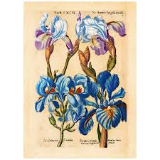 Bearded Iris Flowers Merian Botanical Wall Decal At Retro Planet