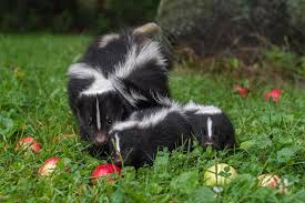 How To Deal And Get Rid Of Skunks In Your Garden Humanely