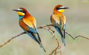 two cars bee eaters twigs birds