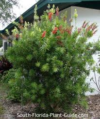 Bottlebrush Bush