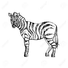 Hand Drawn Ink Zebra On White Background Coloring Page Design