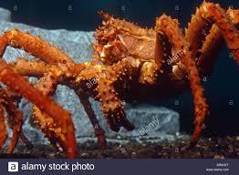 Alaskan King Crab underwater view Stock ...