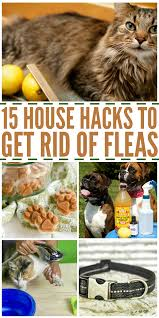16 home remes to get rid of fleas