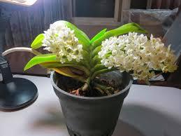 Tonyz Orchid Garden: Rhynchostylis gigantea alba (Fox Tail Orchid) Blooming  !