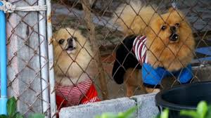 Three Purebred Little Dogs Bark Viciously Behind The Fence Of The Grid In A Cage On The Street Slow Motion Stock Video Download Video Clip Now Istock