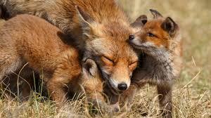 wallpaper cute fox family cubs