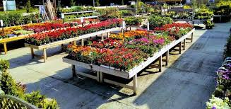 summer bedding plants carpenters nursery