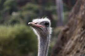 صور لـ قلم جاف صورة مضحك نعامة الطيور طبيعة الحيوانات