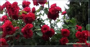 الورود للأرض المفتوحة التصنيف والرعاية والتقليم موقع عن حديقة