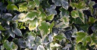 Love It Hate It English Ivy Southern Living