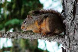 how to get squirrel nests out of a tree