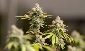 Texas expands access to medical marijuana