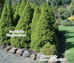 dwarf and miniature conifers for the