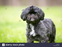 black Shih Tzu mixed breed dog standing ...