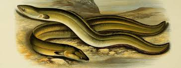 On the Many Mysteries of the European Eel | Literary Hub