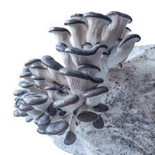 Image result for Blue Oyster Mushrooms
