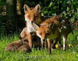 red fox family west yorkshire