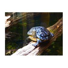 Turtle Photograph by Ashton Roberts
