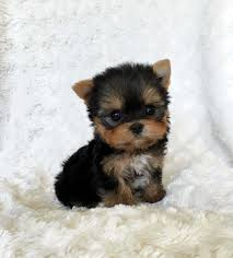 teacup puppies wallpapers on wallpaperplay