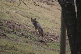 How To Humanely Keep Coyotes Away From Your Homestead Hello Homestead