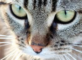 Chat-Tigre Yeux Verts Animal De - Photo gratuite sur Pixabay