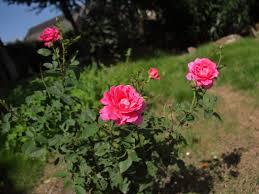 صور ورود طبيعيه جمال الورد الطبيعى قصة شوق