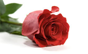 single red rose wallpapers wallpaper cave