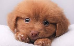 hd wallpaper cute brown puppy