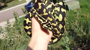 jungle carpet python you