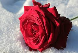 rose red flower stock images page