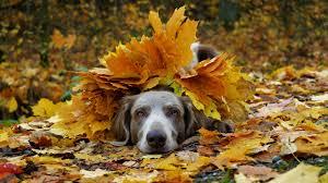 Images Weimaraner Dogs Foliage Autumn animal 2560x1440