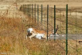 Pronghorn Stag Crawling Under Barbed Wire Fence New Mexico Usa High Res Stock Photo Getty Images