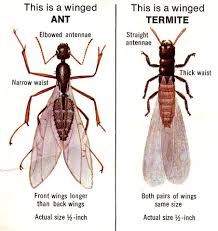 Get What Is The Difference Between Termites And Flying Ants Pictures