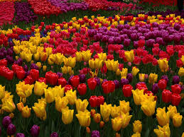 Wallpaper Many Tulip Flowers Garden Pink Yellow Red Purple