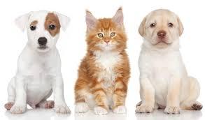 jack russell terrier kitten wallpaper