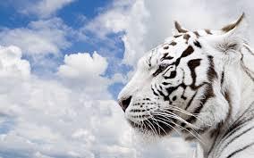 free pics of white tigers