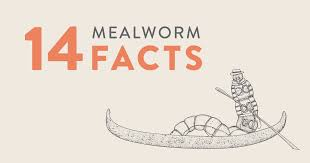 mealworms can eat styrofoam and not