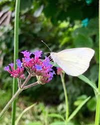 and we have so many again this year mygarden butterfly verbena