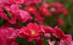 خلفيات ورود جميلة جدا اجمل صورة ازهار طبيعيه روعه كلام نسوان