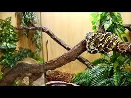 carpet python setup and care you