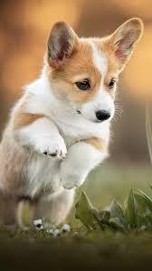 corgi puppy pet dog pure 4k ultra hd