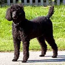toy poodle is this the right breed for