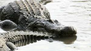 Insider What To Know About Gator Mating Season