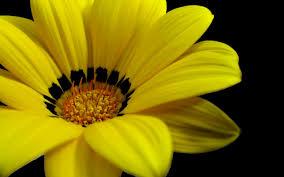 صور ورد اصفر صور ورود صفراء جديدة اجمل الصور