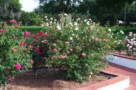 tips for starting a rose garden