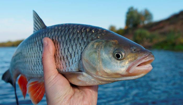 Durga Live Fish