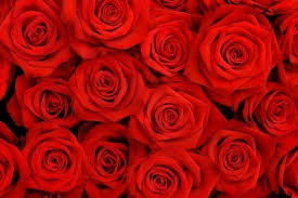 red rose flower images free stock