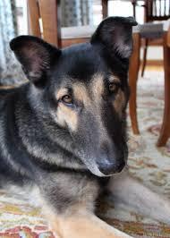 diy dog shoo all natural non toxic