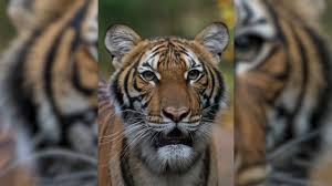 Bronx Zoo Tiger Tests Positive for ...