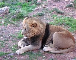 Lion Photograph by Dustin Cox